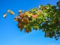 Höstfärgade löv i Dalstorp