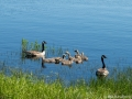 Kanadagäss i Dalstorpasjön