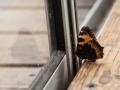 Nässelfjäril på altanen