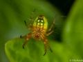 Spindel i trädgården