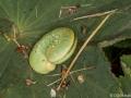 Fjärilslarv i trädgården