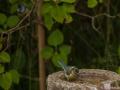 Blåmes  i trädgården
