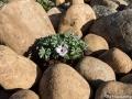 En Oxalis i stenpartiet