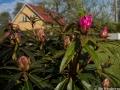 Första rhododendronblomman slår ut