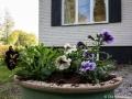 Petunia i urna