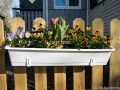 Nu blommar tulpanerna på grinden