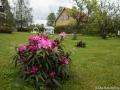 Första Rododendronen blommar